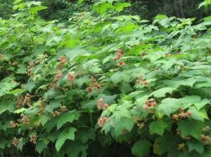 Thimbleberry bushes